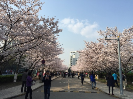 Cherry blossoms blooming in Spring